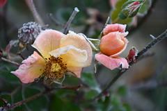 DSC_9830 (griecocathy) Tags: plante macro rosier fleur feuille boutons gelée cristaux tiges coeur étamines épines rose jaune orange vert marron blanc