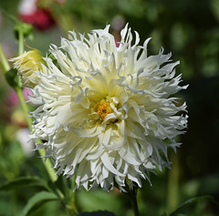 Tentacles (MJ Harbey) Tags: dahlia flower whitedahlia eudicot asterid asterales asteraceae helianthodae nikon northamptonshire canonsashby d3300 nationaltrust nikond3300