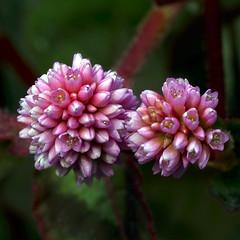 Florint (queropere) Tags: flors petites florint obertes mostren bellesa macro mania queropere