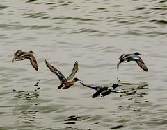 Two female and two male Northern Shovelers . . . (Dr. Farnsworth) Tags: grouping birds ducks shoveler northernshoveler westlake mi michigan fall november2019
