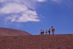 Desierto de Atacama. Chile (anitareal) Tags: desierto cielo nubes atacama chile sudamérica tierra guanacos fauna anamariareal nikon