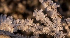 Thingvellir National park. (heldur_betur photography) Tags: frostroses winter frost wintertime frosenbush frosen nature cold thingvellirnationalpark