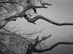 gnarly (Tomsch) Tags: gnarly knorrig tree baum water wasser river fluss donau upperaustria oberösterreich austria österreich blackandwhite schwarzweiss bw reflection spiegelung nature natur naturfotografie naturephotography