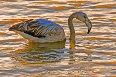 Greater Flamingo (Roy Lowry) Tags: malta flamingo greaterflamingo ghadira