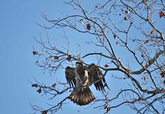 Conowingo Dam ~ Juvenile Eagle (karma (Karen)) Tags: conowingodam harfordco maryland trees birds eagles juvenile hww