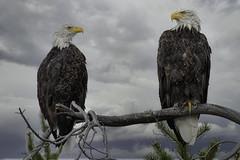 Staring Competition (gecko47) Tags: animals birds eagles raptors baldeagle haliaeetusleucocephalus namerica canada britishcolumbia chilkolake cariboochilcotin luminar4