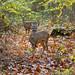 Chevreuils - Phalempin - Roe deer