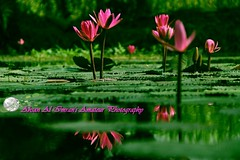 Red lily (ahsan al imran) Tags: pink red green water pond reflect nature flower flowers lily lotus bangladesh deshi lalpotta shapla lalshapla amateur canon wallpaper hd canon1100d hdwallpaper landsscape beautyful best