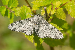 Peppered moth (Biston betularia) (Andrew Cooper Photography) Tags: pepperedmoth blackandwhite moth moths mothsmatter animal beautiful closeup dorset detail england entomology green geotagged insect insects invertebrate leaf leaves lepidoptera macro macrophotography nature natural new naturelover outside photography photooftheday pattern uk unitedkingdom wildlife wildlifephotography wild wings white