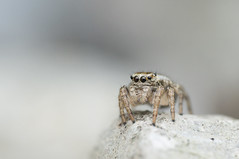 Evarcha sp., female (Benjamin Fabian) Tags: evarcha falcata female jumping spider spring spinne springspinne araneae salticidae salticid cute portrait arthropod macro close up sony sel90 raynox