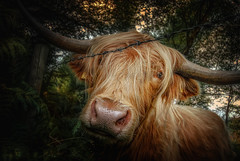 Hello beautiful (Einir Wyn Leigh) Tags: beauty nature cow love highland animal smile nikon rural peace uk colorful