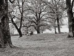 Autumn trees in soft light (Geir Bakken) Tags: ilforddelta mamiya mamiyarb67 mediumformat sekor blackandwhite landscape tree trees borre borreparken horten norway film filmisnotdead filmphotography filmcamera filmisalive 120film 120 vintagecamera fomadonp
