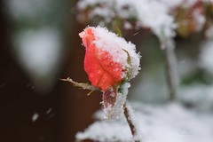 Frozen in Time (Anton Shomali - Thank you for over 3 million views) Tags: redrose frozenintime flowers red snow plant cold flower ice wet rain rose sony slta77v sonycamera garden backyard backyardflowers frozen freeze