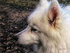 Marnie my Daemon (Jan 130) Tags: jan130 daemon dog jp soul love unconditionallove marnie japanesespitz adopted coth5