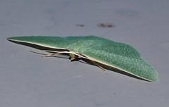 Green felt caped moth Prasinocyma albicosta Geometrini Geometridae Mandalay rainforest Airlie Beach P1089044 (Steve & Alison1) Tags: green felt caped moth prasinocyma albicosta geometrini geometridae mandalay rainforest airlie beach