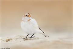 Pre-winter Snow Bunting (Daniel Cadieux) Tags: bunting snowbunting whitebird rock rocks beach ottawa