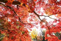 Autumn in Kyoto (Teruhide Tomori) Tags: 京都 秋 モミジ 紅葉 庭園 京都御所 京都御苑 日本 関西 近畿 樹木 風景 garden tree autumn japan japon kyoto red landscape kyotogyoen kyotoimperialgarden kyotogosho kyotoimperialpalace maple kayede morning