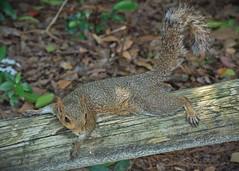 """""""Chillin"""" (janedoe.notts) Tags: nature animal squirrel wood woodlands florida olympus omd em10markii 12100"""