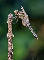 Orthetrum cancellatum-7727 (Miguel Angel Larrea) Tags: macro insecto insect naturaleza nature wildlife libelula dragonfly anisoptera anisoptero orthetrum cancellatum spain madrid odonato odonata