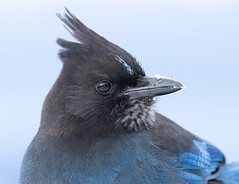 Steller's Jay (markvcr) Tags: stellers jay bird blue winter vancouver canada wildlife nature