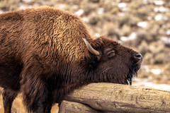 Pure Bliss (Kim Tashjian) Tags: bison buffalo yellowstonenationalpark wildlife wyoming