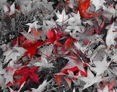 Águas Frias (Chaves) - ... o vermelho das folhas que caem ... (Mário Silva) Tags: águasfrias aldeia chaves trásosmontes portugal ilustrarportugal madeinportugal lumbudus máriosilva novembro outono 2019 folhas vermelho secas outonais