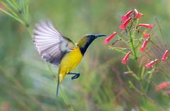 Hovering Olive-backed Sunbird DSC_1214 (BlueberryAsh) Tags: maleolivebackedsunbird olivebackedsunbird singapore birds gardensbythebay sunbird hovering flight wings move beak feathers cinnyrisjugularis