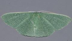 Green felt caped moth Prasinocyma albicosta Geometrini Geometridae Mandalay rainforest Airlie Beach P1089039 (Steve & Alison1) Tags: green felt caped moth prasinocyma albicosta geometrini geometridae mandalay rainforest airlie beach