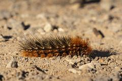 Tiger moth caterpillar (Jeff Mitton) Tags: tigermothcaterpillar caterpillar woolybear plantdefenses earthnaturelife wondersofnature