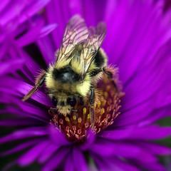 Bee on Aster (San Francisco Gal) Tags: bee aster flower fleur bloom blouson insect macro