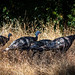 Wild Turkeys in the Grass