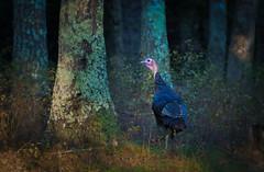 Turkey (RWGrennan) Tags: turkey east hampton new york ny long island nature outdoors forest tree bird wild wildlife nys rwgrennan rgrennan ryan grennan nikon d610 tamron 150600 thanksgiving