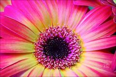 Fall Gerbera I (ChipRossMaine) Tags: flower flowermacro lighting rgb gerbera gerberadaisy canoneosrebelt7i canoneos800d rebelt7i eos800d chipsfolio