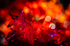 Japanese Maple in the rain (Jeffrey Balfus (thx for 5.9M views)) Tags: sanjose california unitedstatesofamerica yellow|orange|red autumn fall leaves japanesemaple foliage bokeh depthoffield dof shallowdof smoothbokeh bokehoftheday bokehicilous raindrops