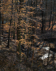 Sunset Leaves (John Brighenti) Tags: flickr fall autumn november pennsylvania westmorelandcounty irwin sunlight light day outside outdoors nature sony alpha a7rii ilce7rm2 100400mm gmaster gm sel100400gm zoom lens photography trees leaves foliage forest woods trunks branches dark orange yellow brown shadows