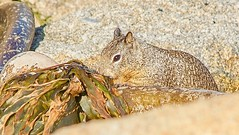 California Groundsquirrel (parmrussrap) Tags: california squirrel mammal rodent brown munching beach kelp
