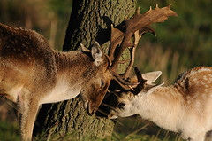 A Half-hearted Duel (andy_AHG) Tags: wildlife autumn stag fallowdeerbuck antlers animals nikond300s yorkshire ruttingseason