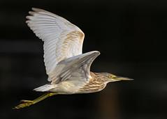 Fluttering Squacco Heron (Ardeola ralloides), Azraq Wetland Reserve, Jordan (MikeM_1201) Tags: squaccoheron bird animal nature wildlife azraqwetlandreserve jordan royalsocietyfortheconservationofnature d500 bif flying winging outdoors