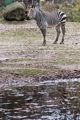 autumn reflection (lichtauf35) Tags: tierparkhellabrunn zebra autumn reflection favouriteplaces 100d ef70200f4lisusm lightroom waterreflection colorful lichtauf35
