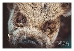 I wanna be a barber! (Bob Geilings) Tags: hog pig swine wildlife animal macro hair barber