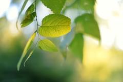 Memories of Summer (l i v e l t r a) Tags: summer light leaves green glow df f14 58mm memories bokeh
