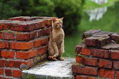 red cat (Сonstantine) Tags: catslife cat catsoftheworld catscatscats red meowmeow meow meowbox animals photo pic cats
