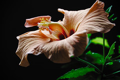 Hibiscus (Doro_L) Tags: blüte flor flower hibiscus color naturebynikon languageofflowers