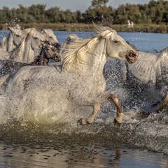 Traversée (Xtian du Gard) Tags: xtiandugard camargue chevaux eau waterscape landscape animaux nature provence