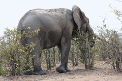 Elephant between small Mopani trees  /  ( Olifant  ) (Pixi2011) Tags: elephants krugernationalpark southafrica africa wildlifeafrica wildanimals big5 animals nature