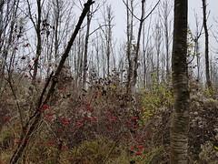 """Herbst im Illergries - Autumn in the Illergries - Automne aux Illergries (warata) Tags: 2019 deutschland germany süddeutschland southerngermany schwaben swabia oberschwaben upperswabia schwäbischesoberland """"badenwürttemberg"""" badenwuerttemberg pflanze """"samsung galaxy note 8"""" nature outside landscape herbst autumn herbstfrüchte iller fluss river rivière illergries"""