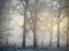 Winter trees in river fog (Sean Maynard) Tags: fog trees forest winter cold frosty white horizontal calgary alberta canada park fishcreekpark sikome fish creek morning dawn huawei p20 pro