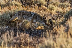 IMG_1390 coyote (starc283) Tags: coyote starc283 predator canine wild nature natures finest watching