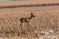 Pampas Deer (Jeff Higgott (Sequella.co.uk)) Tags: jeffhiggott jeffhiggottphotography speedway brasil brazil wildlife nature tropical animal