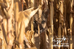 Puma (Jeff Higgott (Sequella.co.uk)) Tags: jeffhiggott jeffhiggottphotography speedway brasil brazil wildlife nature tropical animal